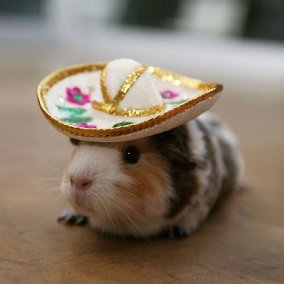 hamster in a sombraro